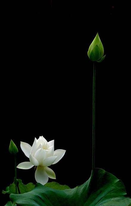 """""""As long as we are persistent in our pursuit of our deepest destiny, we will continue to grow.  We cannot choose the day or time when we will fully bloom.  It happens in its own time.""""   ~ Denis Waitley  * White Lotus   <3 lis"""