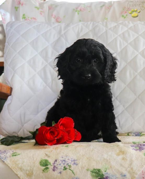 Lori Cockapoo Puppy For Sale In Newburg Pa Lancaster Puppies Cockapoo Puppies For Sale Puppies For Sale Cockapoo
