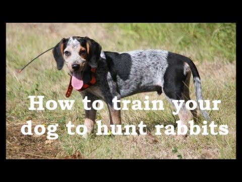 How To Train A Beagle Dog To Hunt Rabbitshow To Train A Beagle Dog