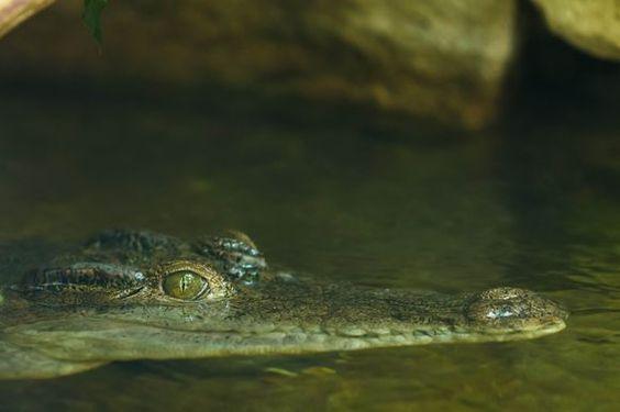 Lurking Philippine Crocodile