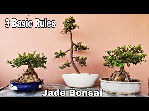How To Make Jade Bonsai 3 Basic Rules How To Give Shape To Jade Plant Bonsai Youtube Jade Bonsai Jade Plant Bonsai Plants