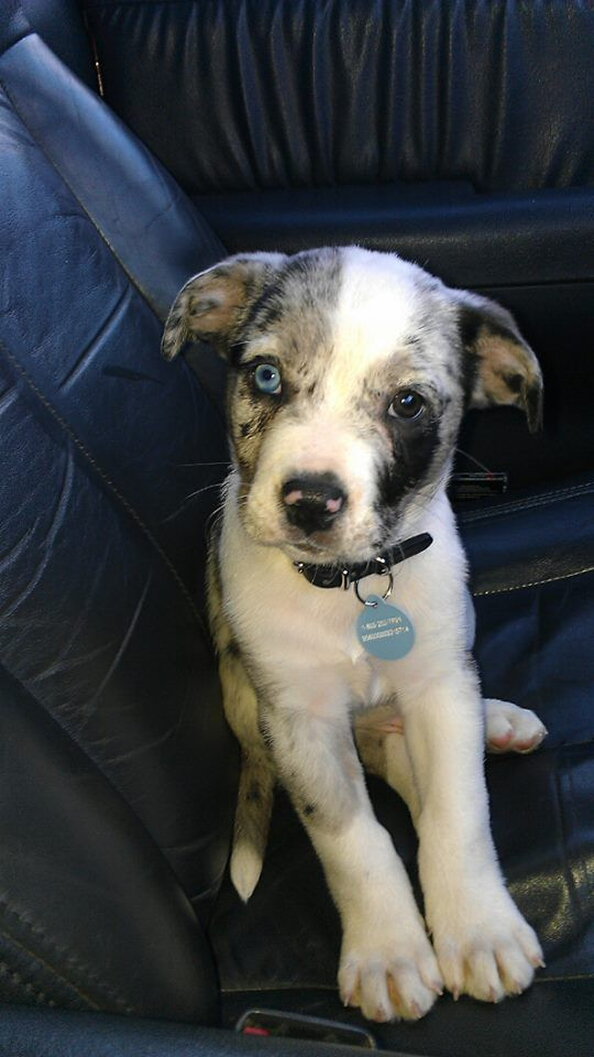 half pit bull half Australian Shepherd. Jon wants an Aussie, I want a pity. Perfect compromise!
