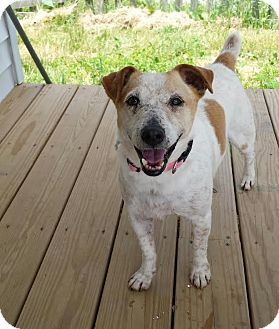 Georgetown, KY - Jack Russell Terrier. Meet Jenna, a dog for adoption. http://www.adoptapet.com/pet/13171478-georgetown-kentucky-jack-russell-terrier: