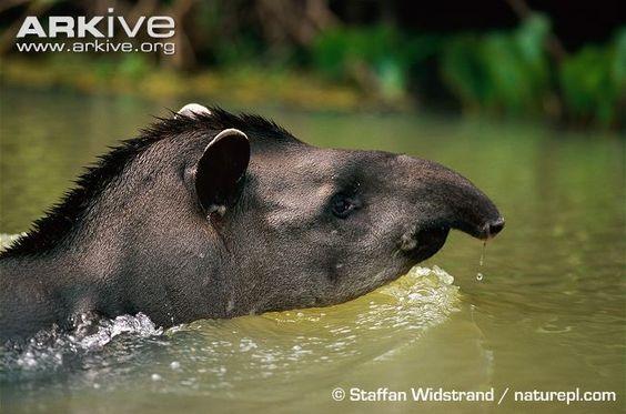 Lowland tapir (Tapirus terrestris) - Eleven mammals are endemic to the Cerrado including large herbivores like the Brazilian (Lowland) Tapir. (27 photos & 7 videos)