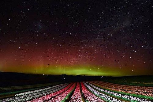 The vibrant red and green curtains of the Aurora Australis complimenting the fields of tulips on Tassie's North West Corner. This area near Wynyard and Table Cape lies on a series of dramatic cliffs looking out over Bass Strait. Each year during late S