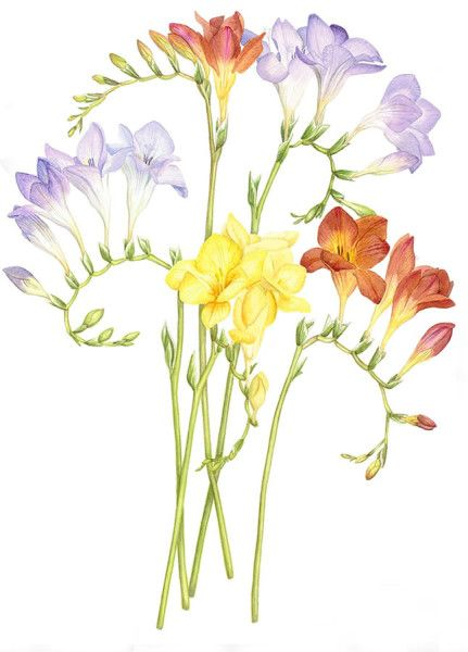 Penny Gould - The Society of Botanical Artists