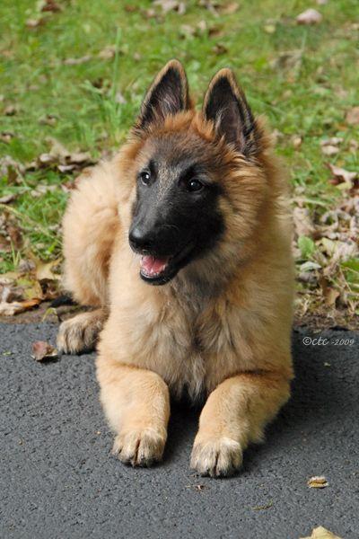 Adorable Belgian Tervuren pup :)