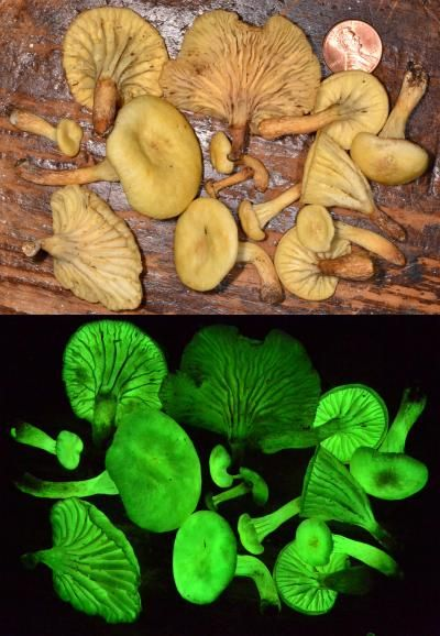 Un hongo bioluminiscente redescubierto después de 170 años  Neonothopanus gardneri es una de las 71 especies de hongos capaces de emitir luz.  Son conocidos popularmente como hongos fantasma por su visibilidad durante la noche y sus variados colores.