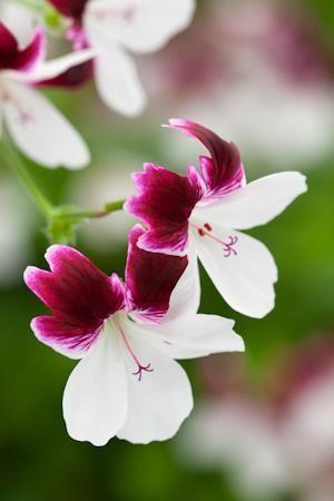.Pelargonium, Mistério australiano