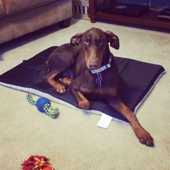 adopt a dobe. #firstday #rescue #doberman #dobie