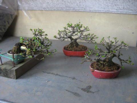 盆栽:備忘録代わりにブログを使う|春嘉の盆栽工房 |Ameba (アメーバ)