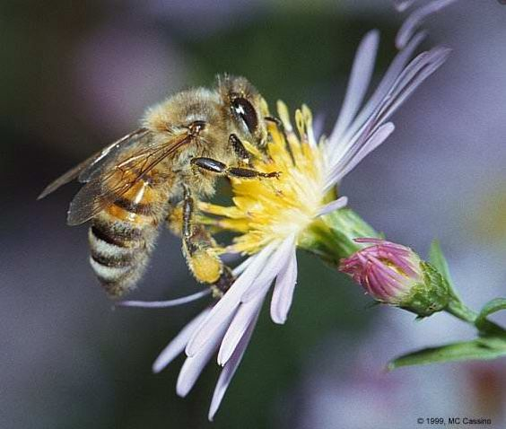"""The bee is the only insect that produces food eaten by man. Honey is the only food that includes all the substances necessary to sustain life, including enzymes, vitamins, minerals, and water; and it's the only food that contains """"pinocembrin"""", an antioxidant associated with improved brain functioning."""