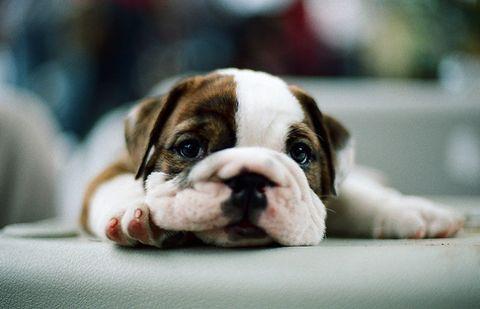 English Bulldog puppy (via Sleepy wrinkles).