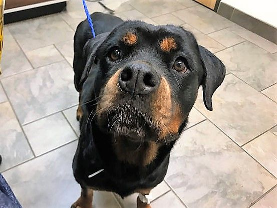 Rottweiler Dog For Adoption In Houston Tx Adn 785135 On
