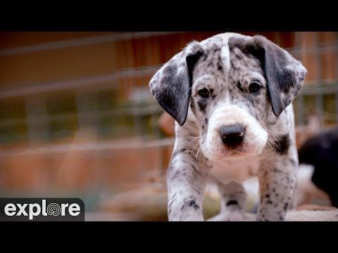 Great Danes Fyi Great Danes Service Dog Project Powered By