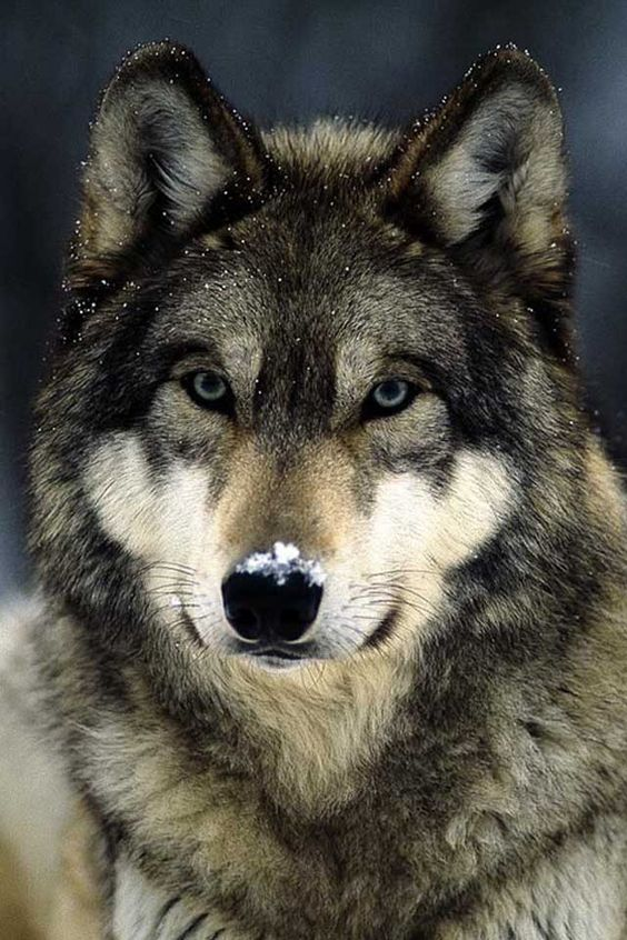 Wolves: