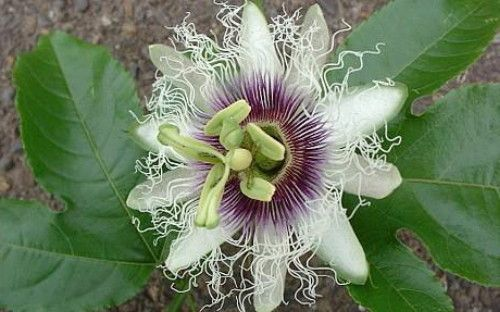 Edible Passion Flower 5 Seeds - Passiflora edulis: