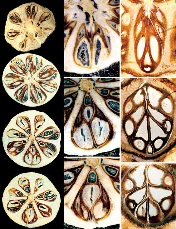 Shirleya grahamae (Lythraceae)..fossil of a seed