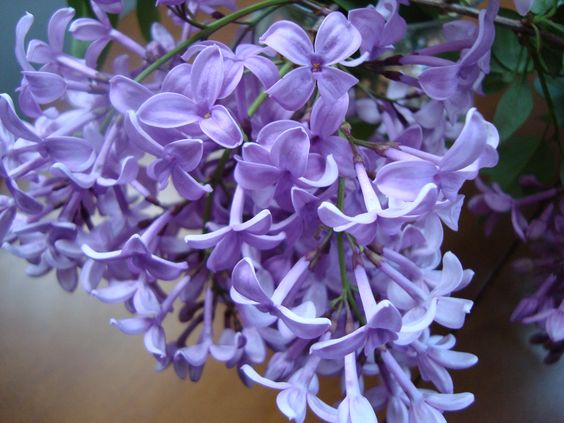 Lilacs! Purple Lilacs! One of my most favorite scents since I was a girl! Would love to have a bush :)