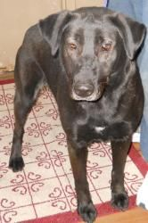 Jack is an adoptable Labrador Retriever Dog in Vincennes, IN.  ...    Large • Adult • Male