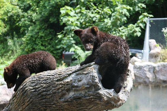 New cubs at Ober Gatlinburg: Gatlinburg Bearfoot, Black Bears, Ober Gatlinburg, Smoky Mountain Bears, Bears Animals, Photo Galleries, Amazing Animals, Blackbear Cubs