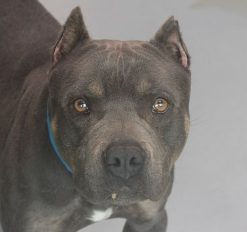 BRUNO - ID#A687467 My name is BRUNO. I am a neutered male, blue Pit Bull Terrier. The shelter staff think I am about 2 years and 3 months old. I have been at the shelter since Mar 13, 2013.