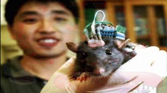 Carne de rata se vende como alitas de pollo
