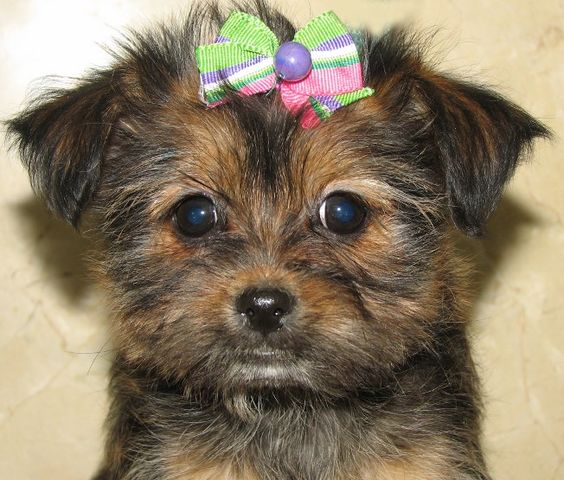Shorkie puppies for sale, Maltipoo for sale and Puppies