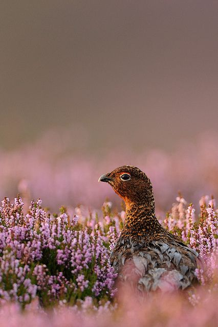 imawalkingdisasterrr: Red Grouse in Heather by hairyduck on Flickr.