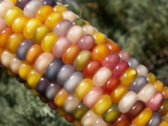 """This dazzling rainbow tinted ear of corn is a 100% natural, rare heirloom breed called """"Glass Gems."""""""