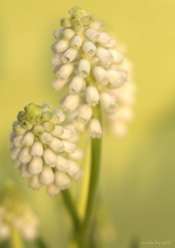 Trauben-Hyazinthen, Frühling