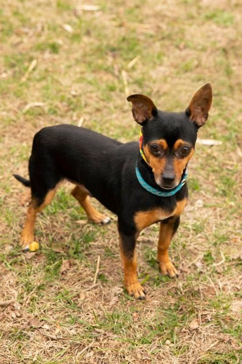 Thank You For Helping This Dog Find A New Home Miniature Pinscher