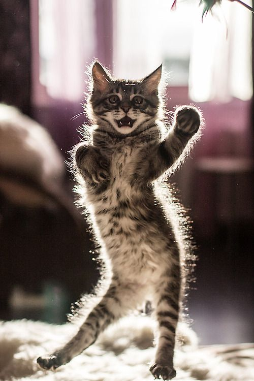 ダンシングする変なポーズの猫