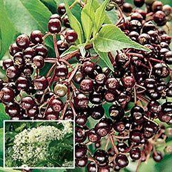 Native & Unique Fruits - Elderberry
