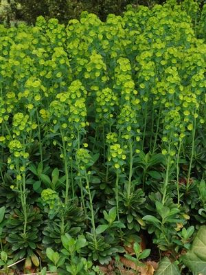 Euphorbia amygdaloides var robbiae wood spurge for Perennial wood