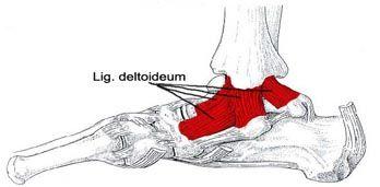 Bilderesultat for lig. deltoideum