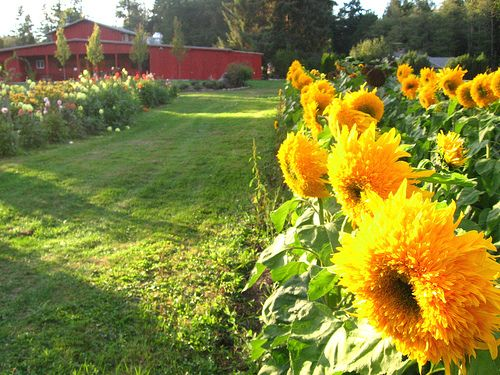 Beautiful sunflowers and flower beds    Google Image Result for http://hydroponicaccess.com/wp-content/uploads/2010/09/Farm-Kitchen-and-sunflowers-Butler-Green-Farms-770697.jpg