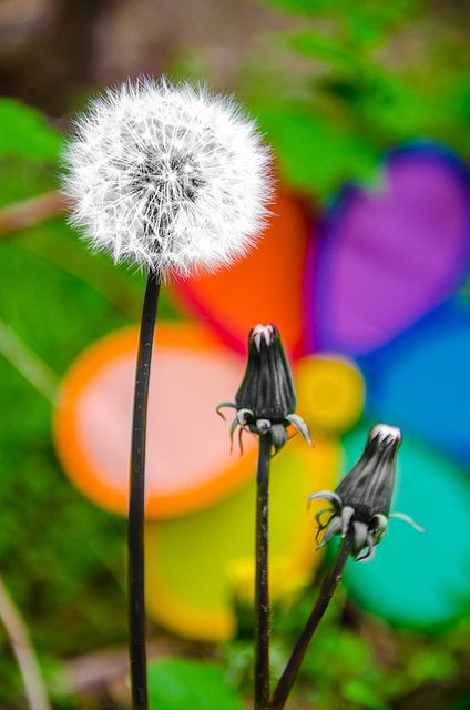 Dandelion circus by * Thierry *, via Flickr
