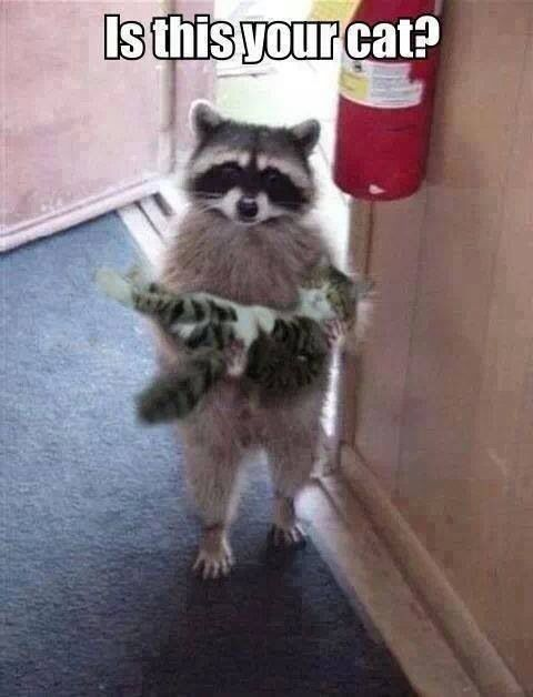XD LOL I wonder how the racoon got the cat to stay still or why the racoon picked up the cat? :/