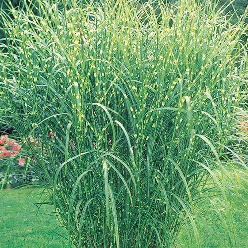Buy zebra grass at michigan bulb jardinnage pinterest for Landscaping with zebra grass