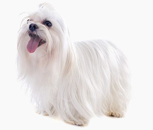 Maltese Maltese Puppy Low Maintenance Dog Breeds Dogs