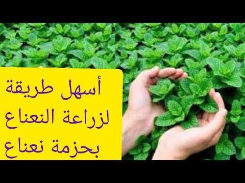 سرنجاح زراعة النعناع في البيت و الطريقة الصحيحة و المضمونة ب حزمة نعناع واحدة Youtube Herbs Green Art Garden
