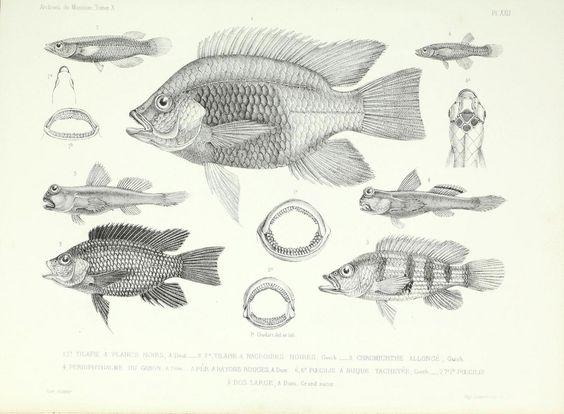 Archives du Muséum d'Histoire Naturelle, Paris.. Paris.. biodiversitylibrary.org/page/45666061