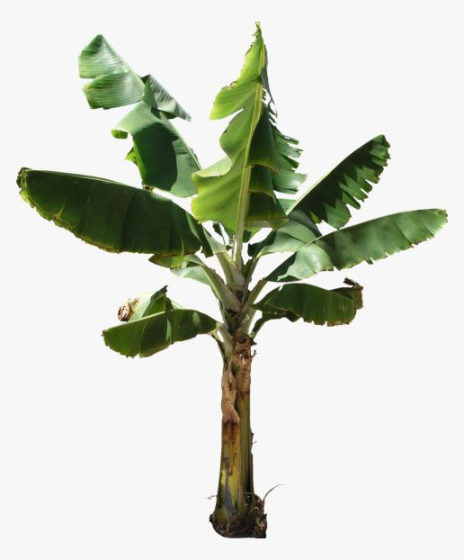 16 Banana Tree Png Banana Tree Banana Plants Tree