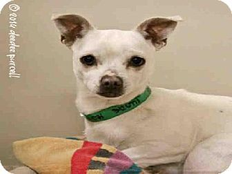 URGENT! Scottsdale, AZ - Chihuahua Mix. Meet CHEWY a Dog for Adoption.Maricopa County Animal Care & Control