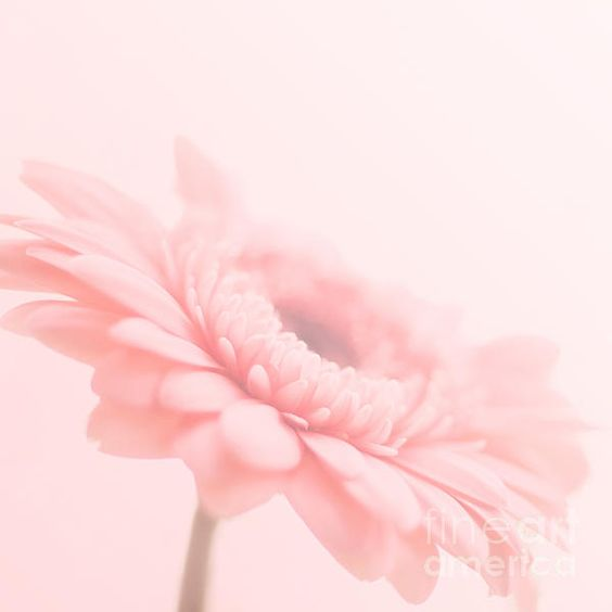In The Pink K Hines Pink Gerbera Daisy close-up in square format Photograph flower floral flora
