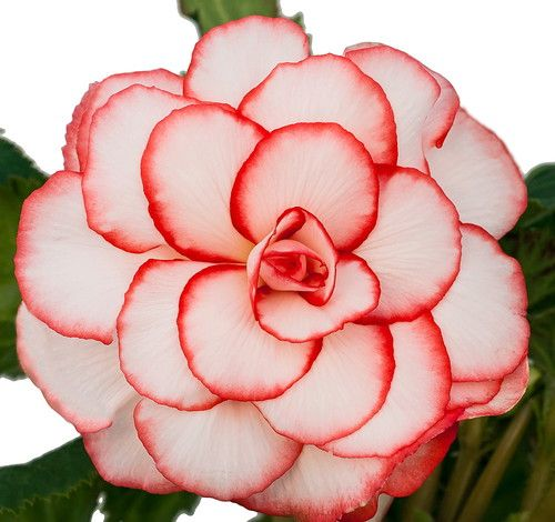Double Red & White Picotee Begonia 3 Bulbs 7/+ cm