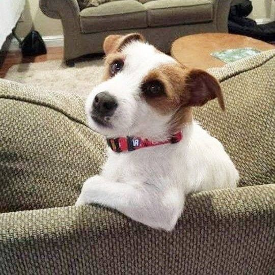 Pin By Susy On Jack Russell Terrier Cute Dog Pictures Jack Russell Dogs Jack Russell