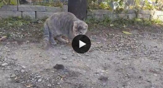 O gatinho deu mole, a galinha caiu matando no ratinho