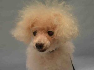 SUPER URGENT 09/13/16 Manhattan Center MAURA – A1089649  FEMALE, WHITE, BICHON…